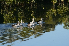 Pelicans on Wooli Wooli River