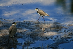 Masked Lapwings with chicks